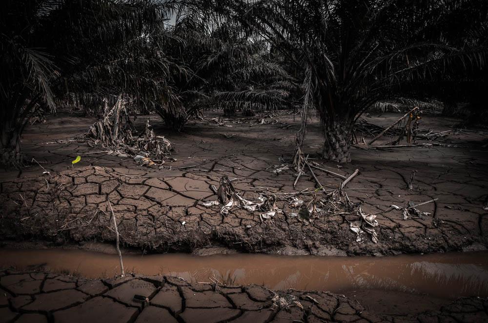 สภาพต้นปาล์มที่ถูกน้ำท่วมขังนานเกือนสามเดือน
